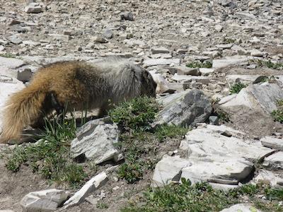 Hoary Marmot, Glacier National Park