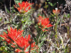 Paintbrush, Glacier National Park