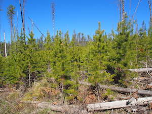 Healing from Robert Fire: A New Forest of Lodgepole Pine, Glacier National Park
