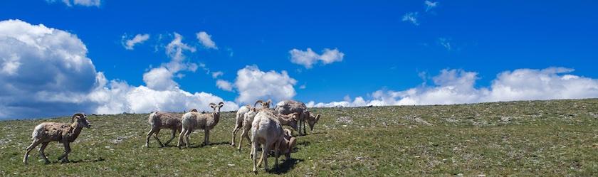 Bighorn Sheep Glacier National Park