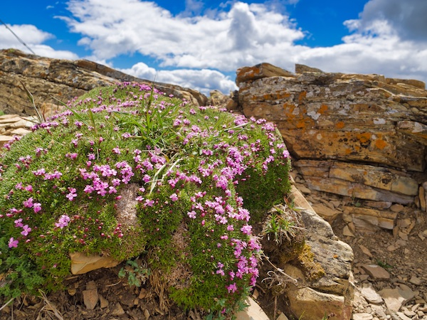 Moss Campion, Swiftcurrent Mountain