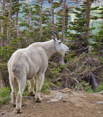Mountain Goat on the Highline Trail