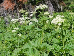 Cow Parsnip - grizzly bears feed on the tender spring stems