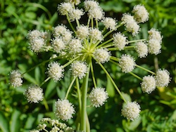 White Angelica - important food source for both grizzlies and black bears