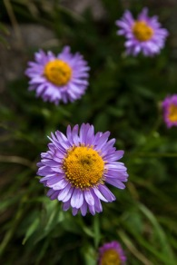 Subalpine Fleabane, Glacier National Park