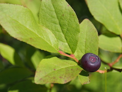 The Much Sought After Huckleberry
