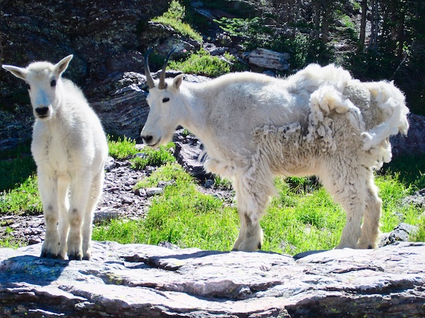Gunsight Pass Mountain Goats, Glacier National Park