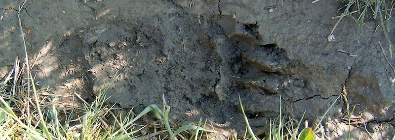 Grizzly Bear Track, Coonsa Creek Trail, Glacier National Park