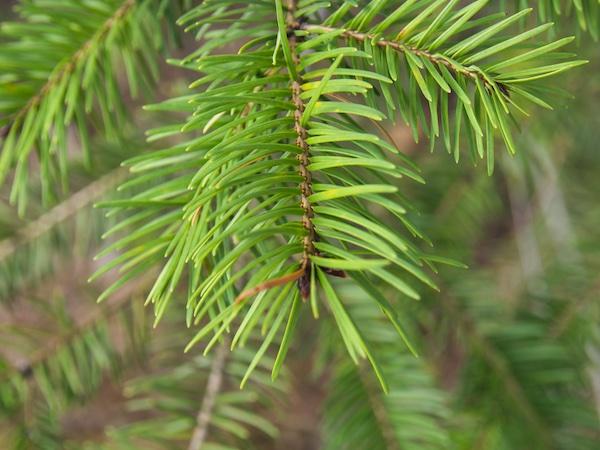 Glacier National Park Trees: Douglas fir
