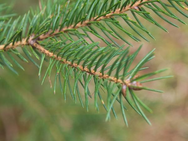 Glacier National Park Trees: Engelmann Spruce