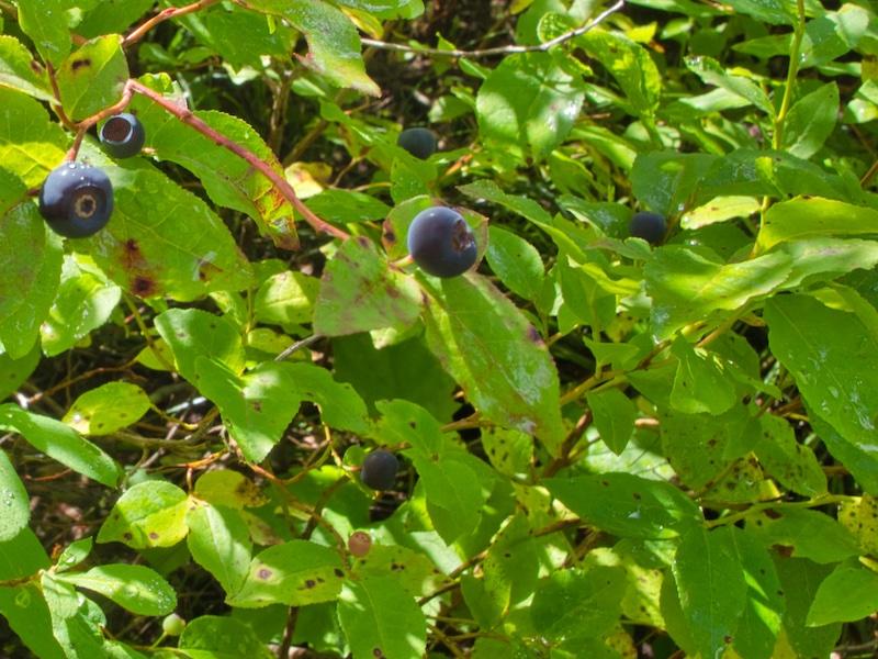 Huckleberries along the Dawson Pass Trail, Glacier National Park